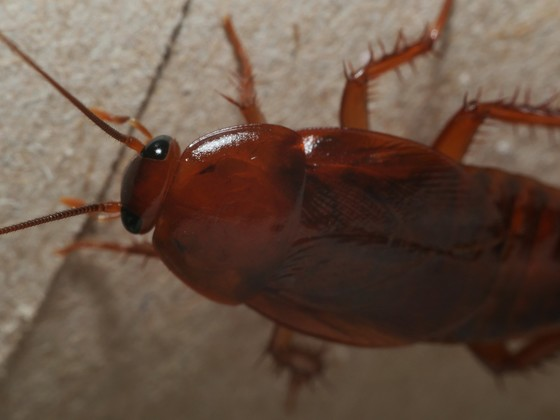 Paratemnopteryx couloniana – Red Goblin Roach 04