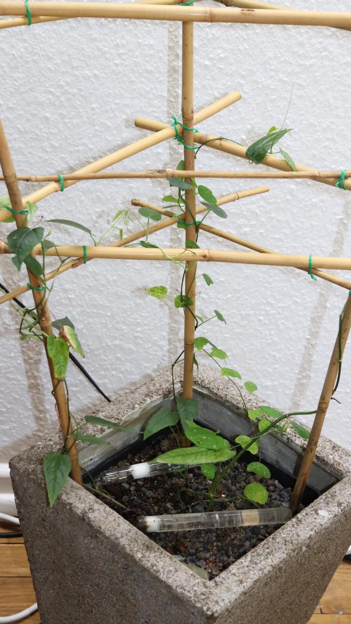 Tetraponera schulthessi 35 Passiflora 20180628 05
