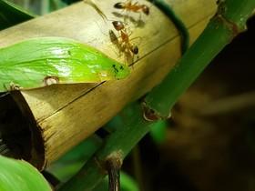 Unsterbliche Camponotus sp.