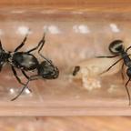 Polyrhachis sp. Thailand 02 Gyne Arbeiterin Brut 02