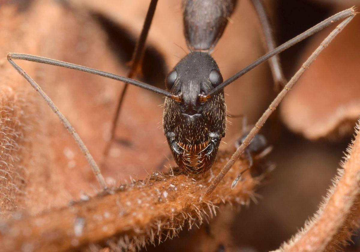 Camponotus cf. melanoticus