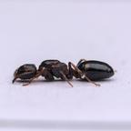 Dolichoderus quadripunctatus Königin 1-1