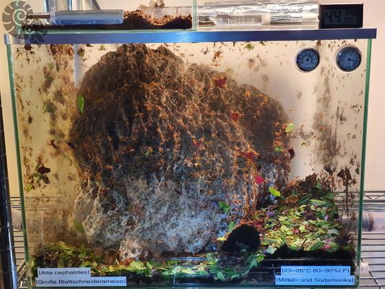 Atta cephalotes Pilzbecken 01 [25.07.20]