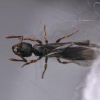 Myrmecina graminicola Königin 1-4