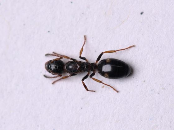 Dolichoderus quadripunctatus Königin 1-2
