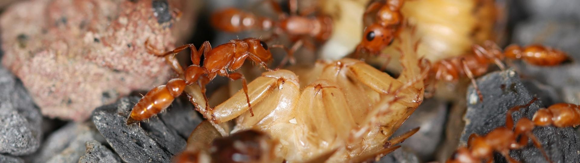 Tetraponera schulthessi 12 Arbeiterinen beim Fressen auf dem Bodengrund 06