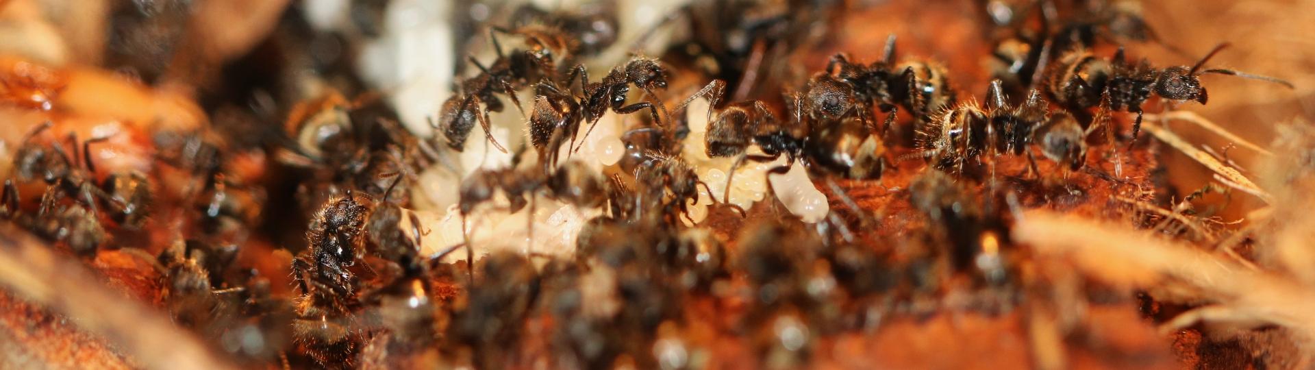 Dolichoderus bispinosus 15 mehrere Arbeiterinnen mit Brut 03