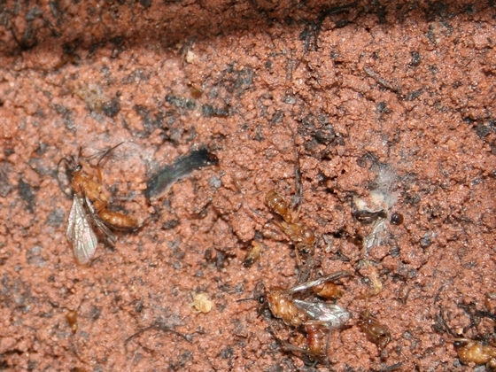 Diacamma cf. rugosum 18 Setup Nest 30x6x20 Abfall 01