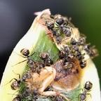 Dolichoderus bispinosus 45 Arbeiterinnen beim Fressen 02