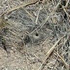 Nesteingang einer Trichternetzspinne