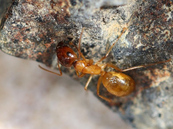 Camponotus turkestanus 19 Major Arbeiterin 06