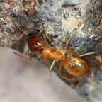 Camponotus turkestanus 19 Major Arbeiterin 06
