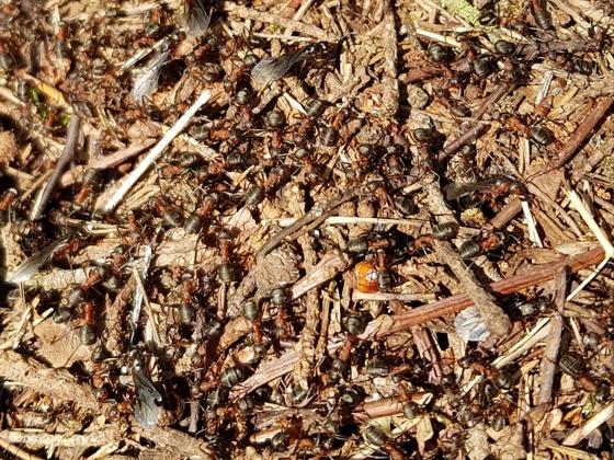Formica s. str Nest 3