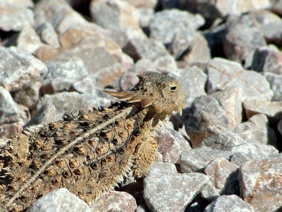 Eine Krötenechse (Phrynosoma solare) nimmt ein Sonnenbad auf einem Schotterweg.