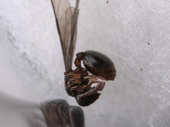 Myrmecina graminicola Königin 1-1