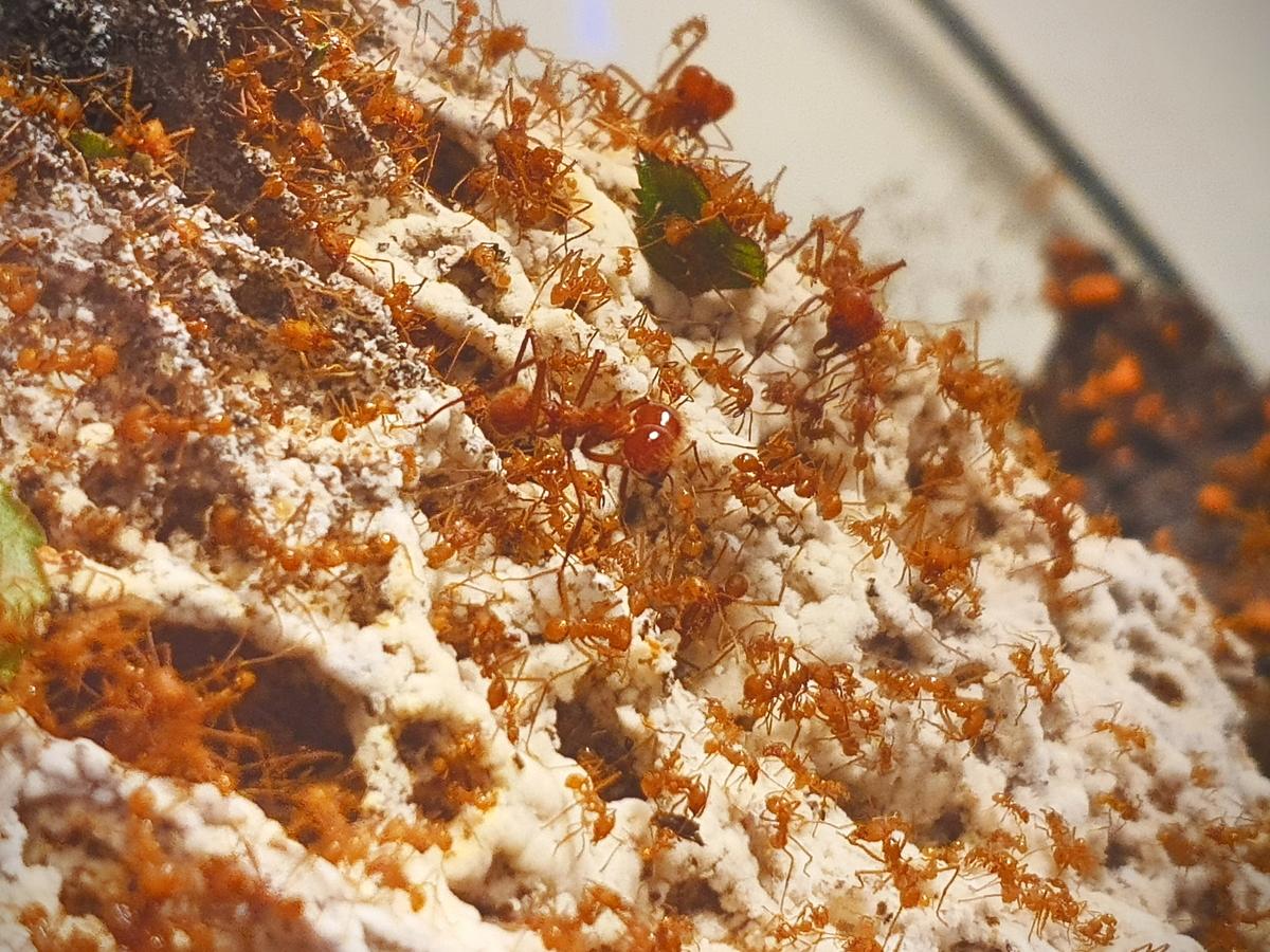 Atta cephalotes Pilz 1 [19.04.20]