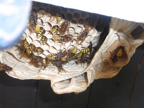 Vespa crabro, Blick in das von unten offene Nest