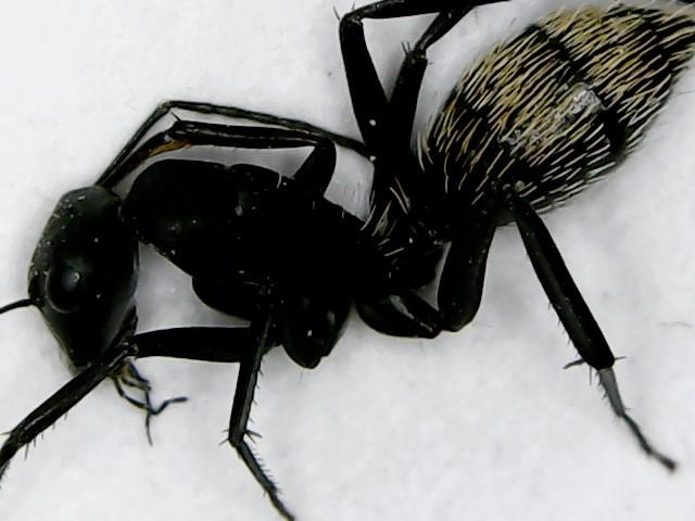 Makroaufnahme von Camponotus fulvopilosus