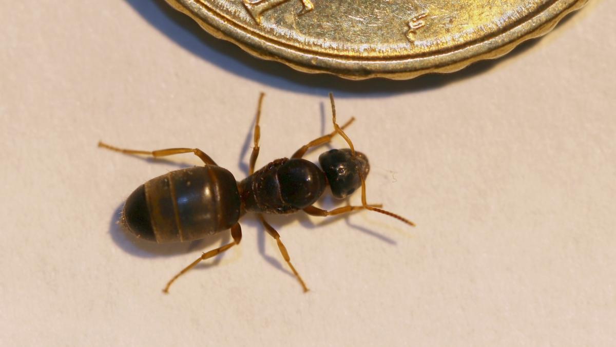 Lasius brunneus 03 Gyne 01