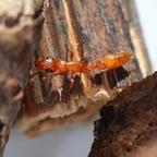 Tetraponera natalensis 01 Arbeiterin am Nesteingang 01