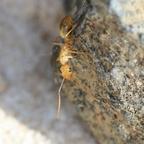 Camponotus turkestanus 15 Arbeiterin beim Erkunden der Umgebung 06