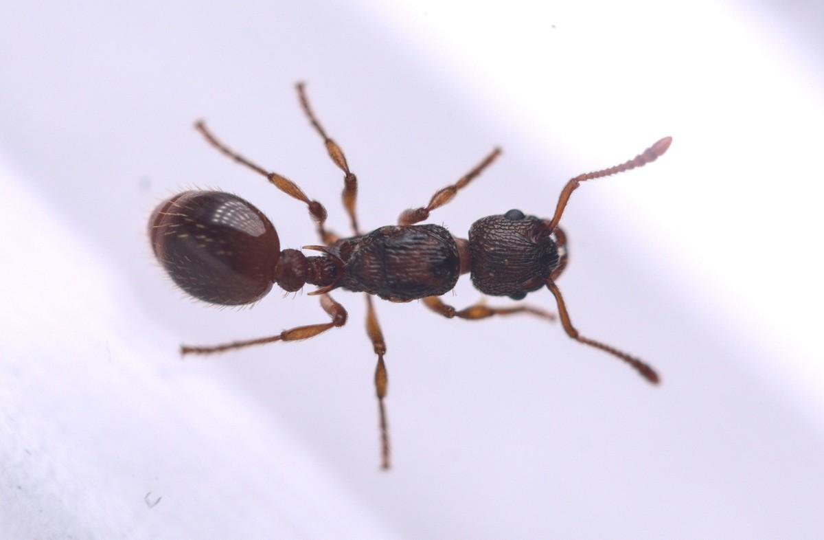 Myrmica scabrinodis 1-5