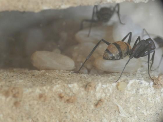 Camponotus fulvopilosus