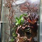 Dolichoderus bispinosus 29 Formicarium 04