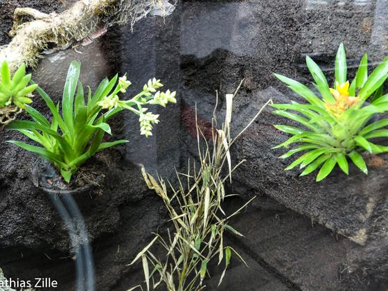 Guzmania theresa und Catopsis moreniana