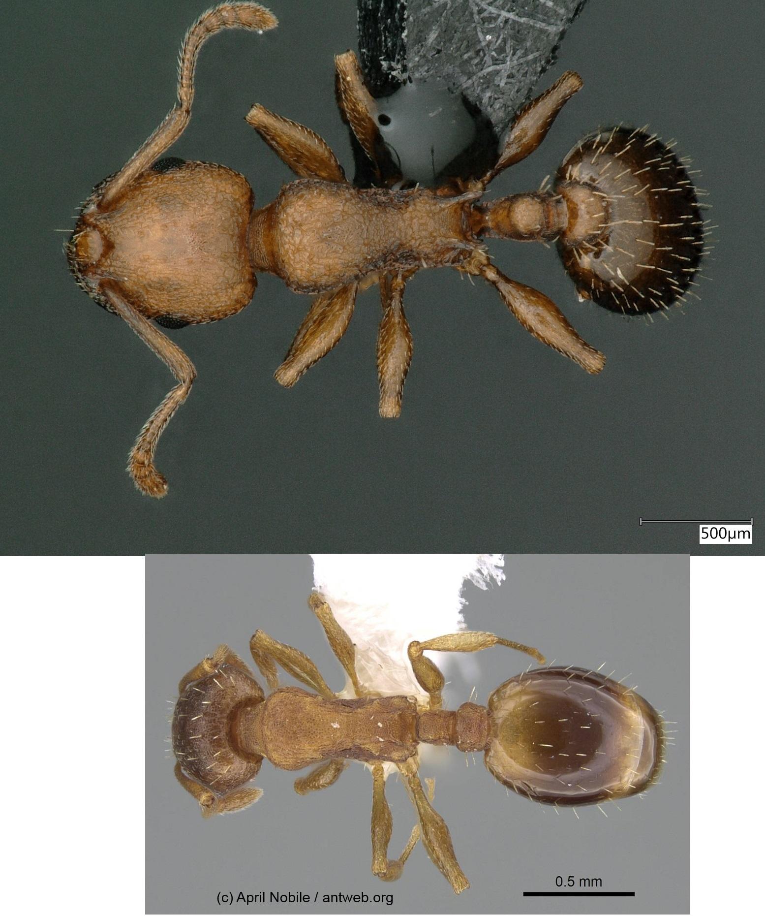 vergleich clypeatus_nylanderi_dorsal
