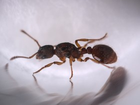 Myrmica scabrinodis 1-6