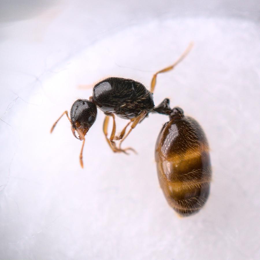 Solenopsis fugax Königin 1-4