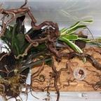 Dolichoderus bispinosus 37 Umzug 01