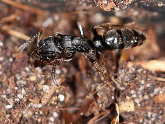 Pachycondyla sp. Guyane 06 Arbeiterin 04