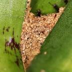 Dolichoderus bispinosus 73 Bromelie mit Materialkonstruktion 03