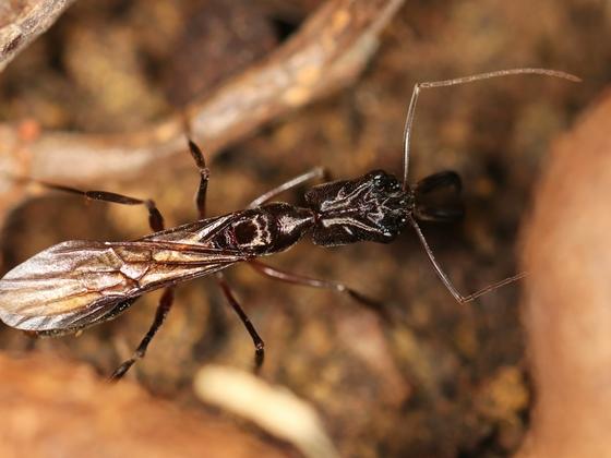 Odontomachus chelifer 05 erste Geschlechtstiere 02
