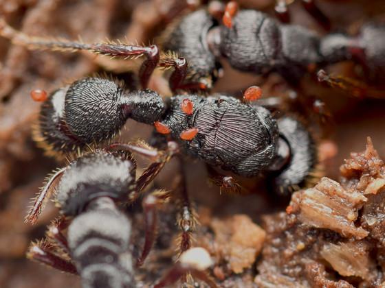 Gnamptogenys laticephala