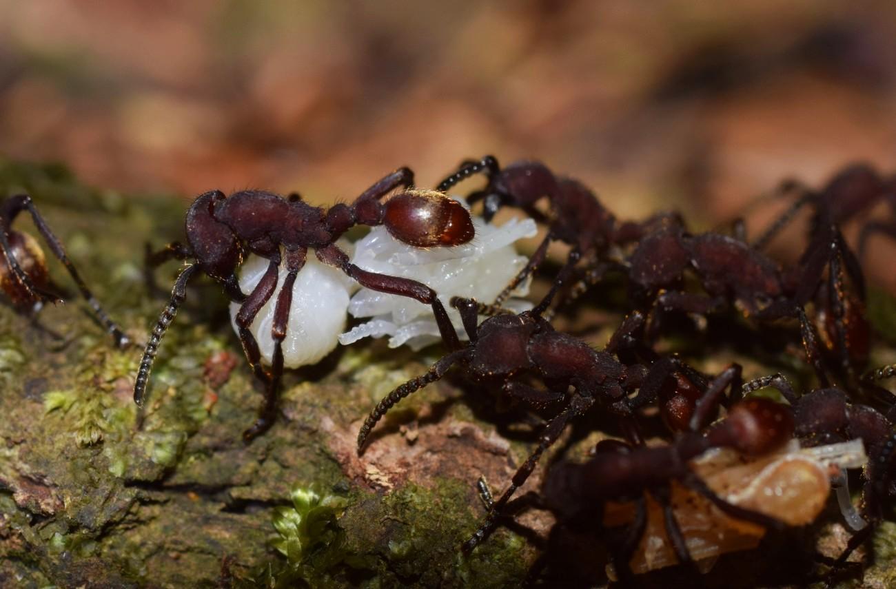 Nomamyrmex esenbeckii