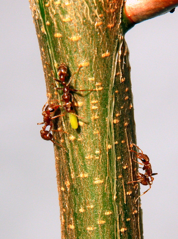 Pseudomyrmex spinicola mit Belt'schem Körperchen