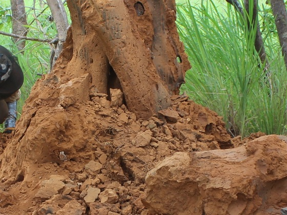 opened Termite mound