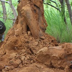 opened Termite mound