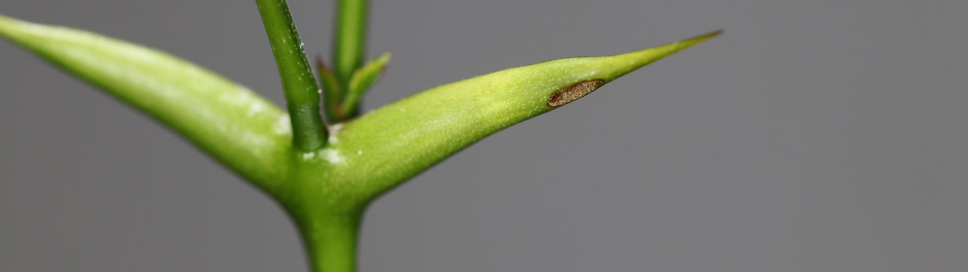 Pseudomyrmex ferrugineus 19 frisches Dornenpaar bearbeitet 01