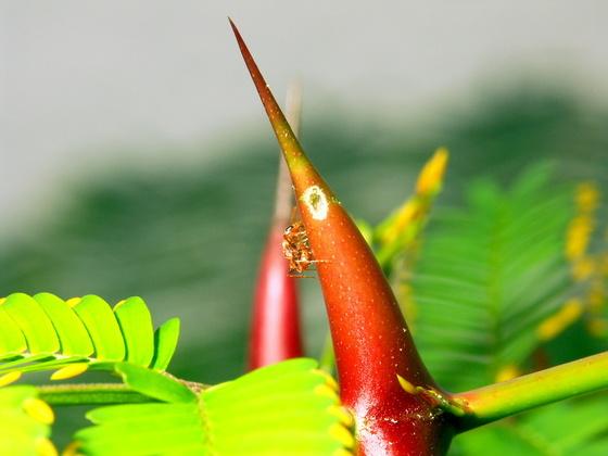 Pseudomyrmex spinicola beim Öffnen eines neuen Dornenpaares