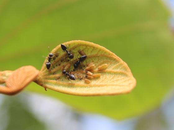 Crematogaster sp. mit Hemiptera