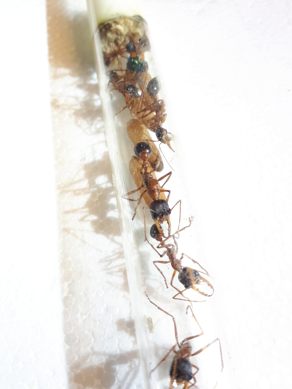 Myrmecia forceps