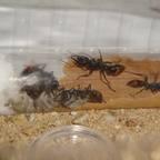 Kolonie und Larven von Myrmecia mandibularis