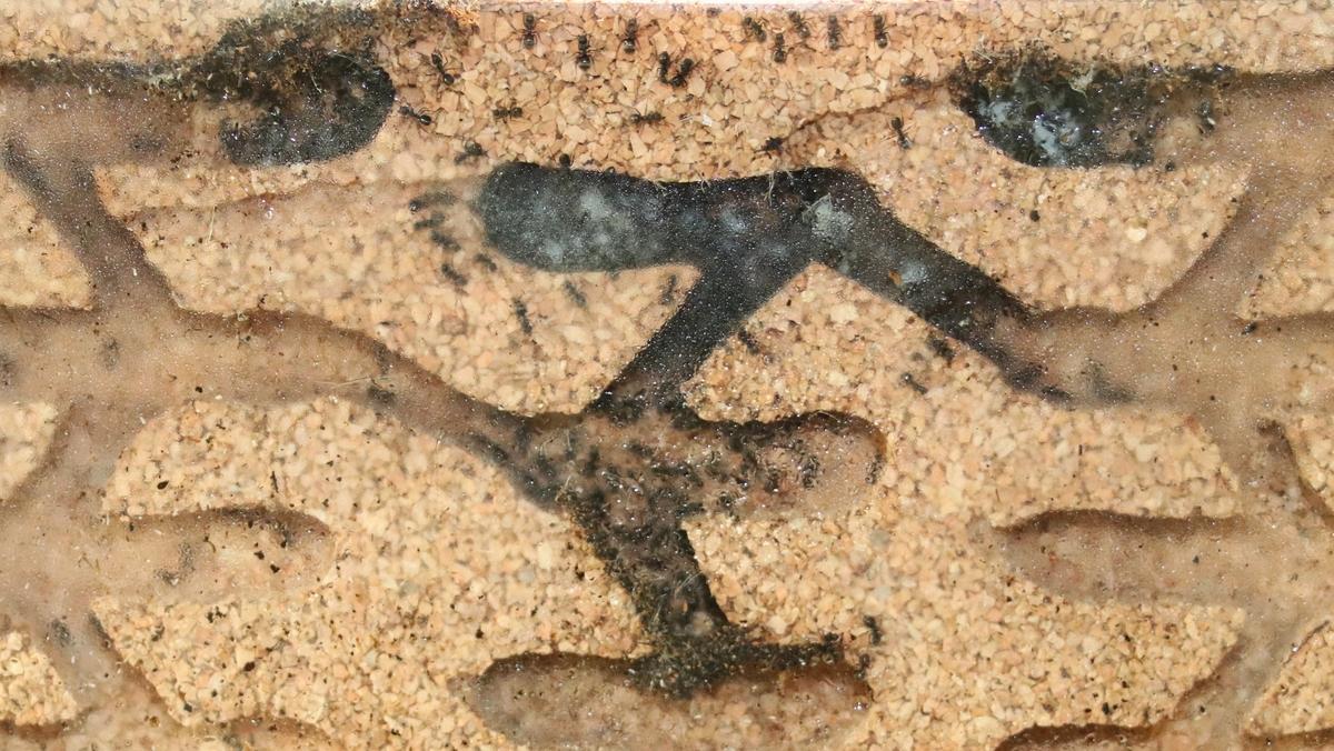 Dolichoderus bispinosus 34 Korknest 02
