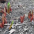 Tulipa spec