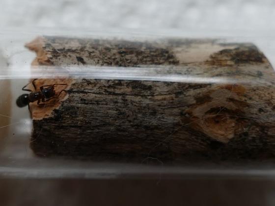 Colobopsis truncata