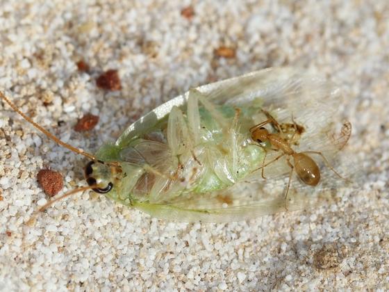 Camponotus turkestanus 17 Arbeiterin beim Fressen 02